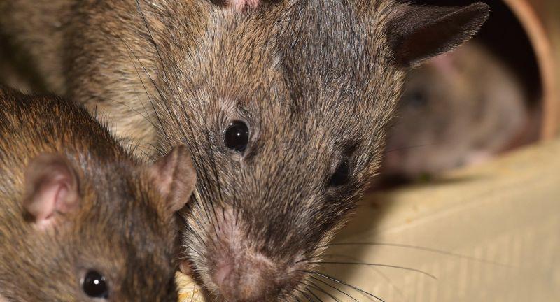 rat, coronavirus, plague, waste, recycling, hwrc, VPS, Group